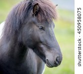 Small photo of Icelandic horse. The Icelandic horse is a breed of horse developed in Iceland. Although the horses are small, at times pony-sized, most registries for the Icelandic refer to it as a horse.