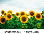 Summer Sunflower Field. Field...
