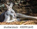 Gray Kangaroo Sleeping On The...