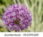 giant onion  allium giganteum...