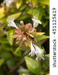Small photo of Glossy abelia's yellow leaves and white flowers (Abelia x grandiflora â??Francis Mason')