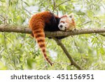 Red Panda  Firefox Or Lesser...