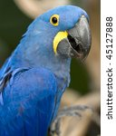 Magnificent Hyacinth Macaw Hal...