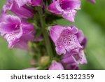 Purple Foxglove  Digitalis...