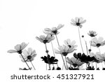 pink cosmos flowers on white... | Shutterstock . vector #451327921