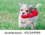 Stock photo dog shih tzu chihuahua 451349989