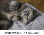 scottish fold british cat... | Shutterstock . vector #451383364