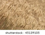 golden corn | Shutterstock . vector #45139105