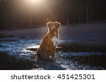 Stock photo nova scotia duck tolling retriever dog in the water 451425301