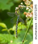 Small photo of Southern Hawker dragonfly on bramble flower.