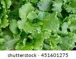 Green Fresh Salad Leaves...