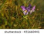 Close Up Of Viola Tricolor ...