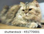 exotic longhair cat   Shutterstock . vector #451770001