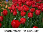 Small photo of Blooming ad rem tulips