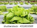 butter head lettuce growth in...   Shutterstock . vector #451833589