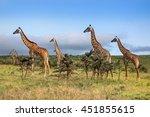 a herd of giraffes in the... | Shutterstock . vector #451855615