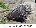 African Crested Porcupine...