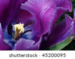 Soft abstract image of beautiful variegated purple tulip.  Macro with extremely shallow dof. - stock photo