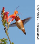 Small photo of Allen's hummingbird (Selasphorus sasin) feeding on trumpet creeper (or vine) flower.