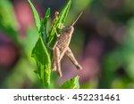 grasshopper photo on a grass | Shutterstock . vector #452231461