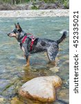 Blue Heeler Dog Playing In The...