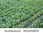 Rows Of Young Canola Plants In...