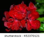 Raindrops On A Geranium At...