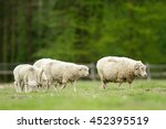 Sheep On Grass With Blue Sky ...