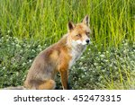 red fox against a green nature... | Shutterstock . vector #452473315