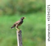Small photo of Common Myna bird (Acridotheres tristis) perching on the woodstick