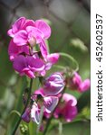 sweet pea lathyrus odoratus... | Shutterstock . vector #452602537