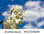Oleander Flower With Blue Sky...