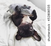 Cute Frenchie And A Teddy Bear