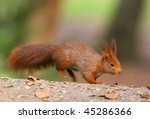 Red Squirrel Jumping Into The...