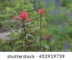 Indian Paint Brush Blooms With...
