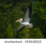 White Pelican In Flight   Gree...