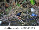 Small photo of African black crake (Amaurornis flavirostra) in Uganda