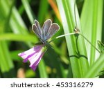 Small photo of small beautiful blue butterfly, endangered species, lycaeides subsolana, the asama silver-studded blue, asamashijimi sitting on the pink flower(hakusanfuro) in kurumayama-highland, nagano, Japan