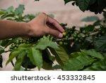 green coffee beans growing in...   Shutterstock . vector #453332845