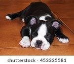 sleeping boston terrier...   Shutterstock . vector #453335581