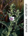 Small photo of Marshmallow (Althaea officinalis) is a natural healing process.