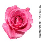 beautiful pink rose isolated on ... | Shutterstock . vector #45343816