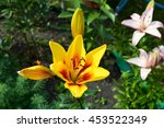 Yellow Lily Flowers In The...