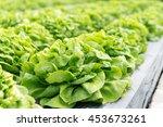 butterhead lettuce salad plant  ... | Shutterstock . vector #453673261