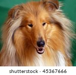 Dog  breed collie Red-head color, portrait front - stock photo
