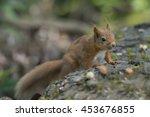 red squirrel  sciurus vulgaris  ... | Shutterstock . vector #453676855