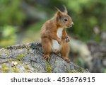 red squirrel  sciurus vulgaris  ... | Shutterstock . vector #453676915