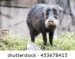 collared peccary | Shutterstock . vector #453678415