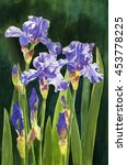 Lavender Irises And Buds With...