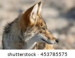 Small photo of Portrait of a coyote (Canis latrans) in Death Valley National Park, California. Coyotes are native to North and Central America.